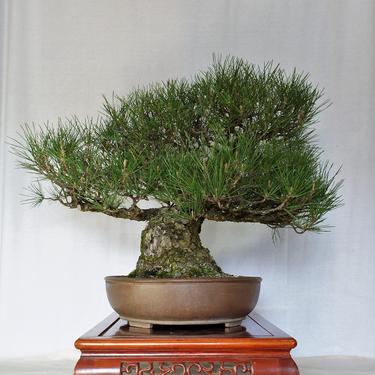 Bonsai Toriumi Offers Bonsai Trees Pots And Supplies Online Catalogue And Sales In Saitama Japan
